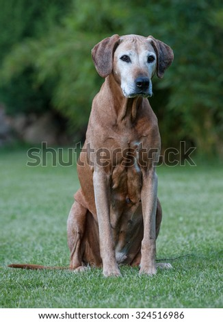 Beautiful elderly Rhodesian Ridgeback female dog sitting outside in the garden in front of green background. The pet is twelve years of age and is looking pretty good. - stock photo