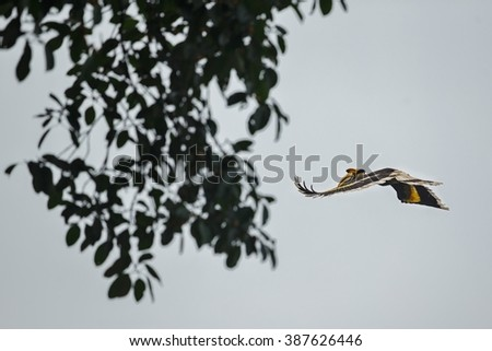 Beautiful endangered great hornbill flying in Kaziranga, India / Beautiful endangered great hornbill flying in Kaziranga, India / Beautiful endangered great hornbill flying in Kaziranga, India - stock photo