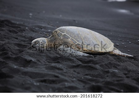 Beautiful endangered green sea turtle on Punalu'u black sand beach in Hawai'i - stock photo