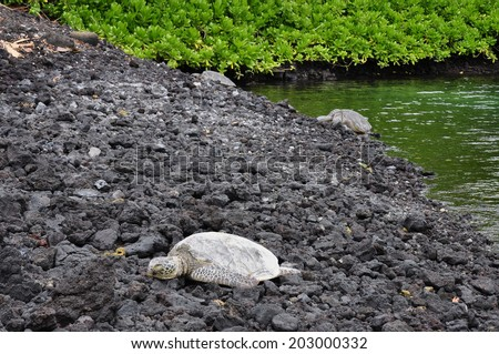 Beautiful endangered green sea turtles on Punalu'u black sand beach in Hawaii - stock photo