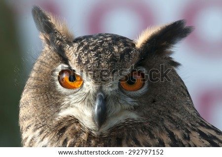 beautiful Eurasian eagle-owl - stock photo