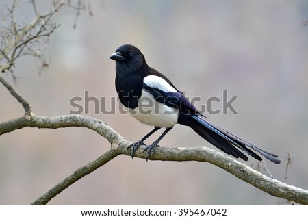 Beautiful Eurasian magpie, European magpie, Common magpie (Pica pica) bird perching on a branch. - stock photo