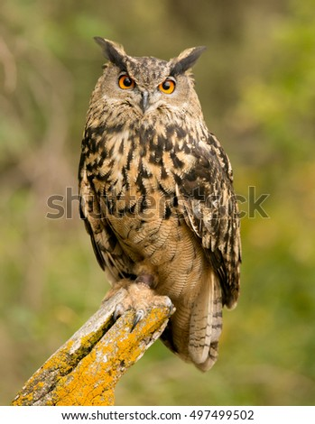 Beautiful Eurasian Owl