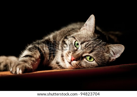 beautiful European cat in front on a black background - stock photo