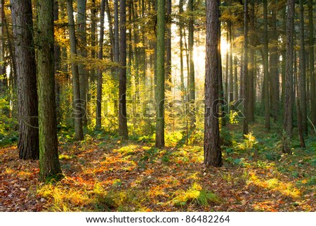 Beautiful evening sun falls through the canopy of a forest - stock photo