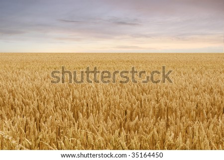 Beautiful evening view of a field of grain - stock photo