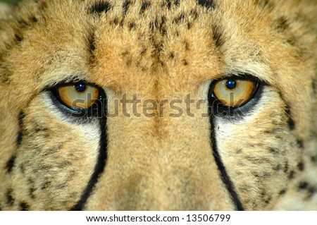 Beautiful eyes closeup of an African Cheetah predator with dangerous expression in the face watching other Cheetahs in a game reserve in South Africa