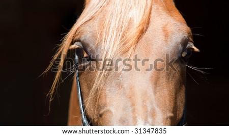 Beautiful eyes of sorrel arabian horse in black background - stock photo