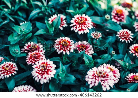 Beautiful fairy dreamy magic red and white zinnia flowers with dark green leaves, retro vintage style, soft selective focus, blurry background, copyspace for text - stock photo