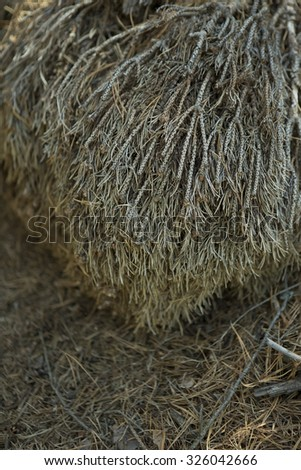 Beautiful fallen Dry Pine Branch, Elements of an Autumn Forest, taiga - stock photo