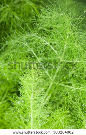 beautiful feathery green leaves of fennel. abstract background - stock photo