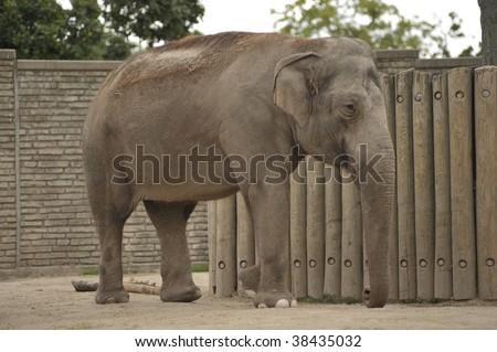Beautiful female elephant walking - stock photo