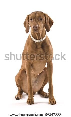 Beautiful female Hungarian Vizsla. Isolated on white background