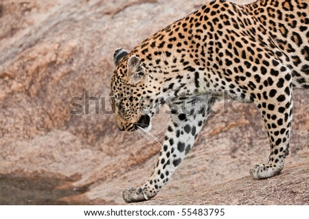 Beautiful female leopard walking on rocks in the South African bush - stock photo