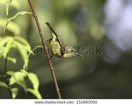 Beautiful female Olive-backed sunbird on branches of tree - stock photo