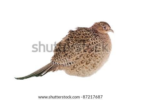 Beautiful female pheasant isolated over white background - stock photo