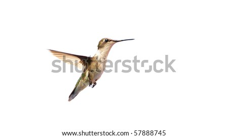 Beautiful female ruby throated hummingbird in motion,isolated on white.