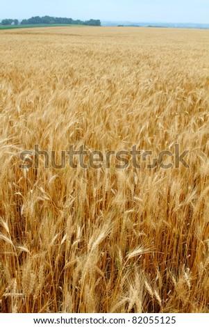 Beautiful field of golden wheat - stock photo