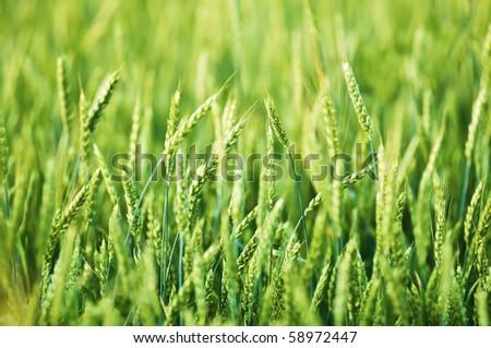 Beautiful field of wheat close-up - stock photo