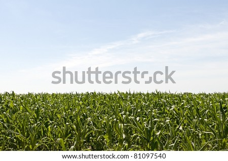 beautiful field with green corn