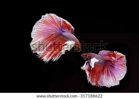 Beautiful fighting fish isolated on black background. Betta fish - stock photo