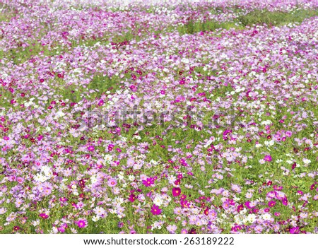 Beautiful filed with deep and light pink flowers - stock photo