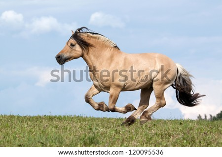 Beautiful fjord horse running on pasture - stock photo