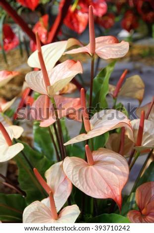 Beautiful flamingo Lily (Spadix) in the garden  - stock photo