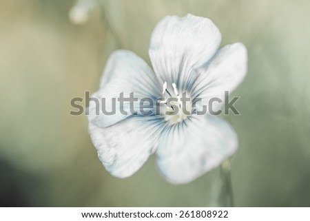 Beautiful flax flower  on meadow - stock photo