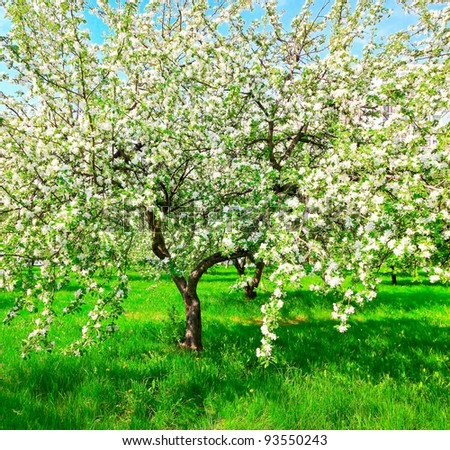 Beautiful floral apple trees over blue sky in spring park - stock photo