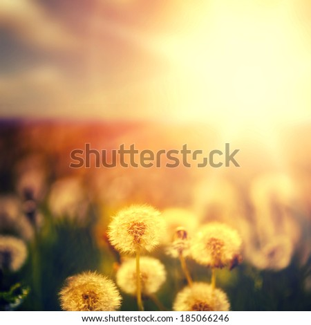 Beautiful floral background. dandelion flowers on green spring meadow and sunrise - stock photo