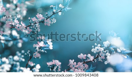 Beautiful Floral Spring Abstract Background Of Nature Branches Blossoming Apricot Macro With Soft Focus