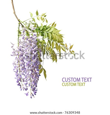 Beautiful flower branch of Japanese wisteria over pure white background. Copy-space. - stock photo