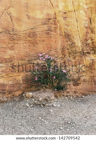 Beautiful flower near the beginning of the Kings Way (Sig) to the ancient city of Petra - Jordan - stock photo