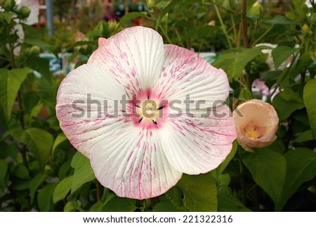Beautiful flower of hibiscus mauvelous - stock photo