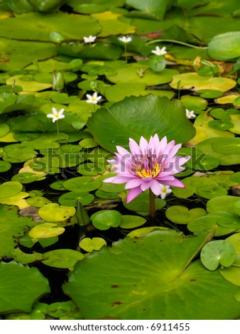 Beautiful flower of lotus in a small pond