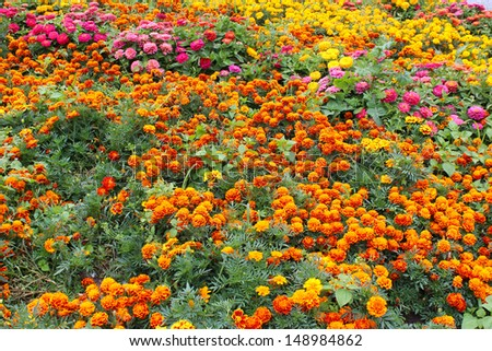 beautiful flower of motley and velvet tagetes and many others