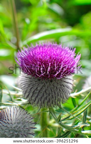 Beautiful flower of Purple woolly thistle. Cirsium eriophorum