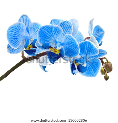 Beautiful flower Orchid, blue phalaenopsis close-up  isolated on white background - stock photo
