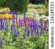 Beautiful flowerbed with Sage, Salvia nemarosa - stock photo