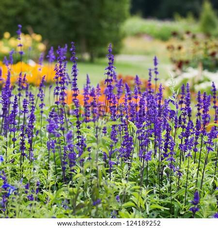 Beautiful flowerbed with Sage, Salvia nemarosa - stock photo