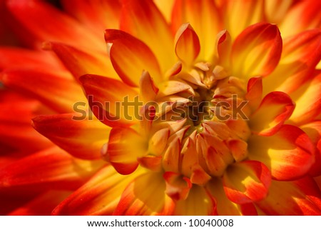 Beautiful flowering Dahlia. Colors:red and yellow. - stock photo