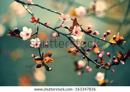 Beautiful flowering Japanese cherry - Sakura. Background with flowers on a spring day.  - stock photo