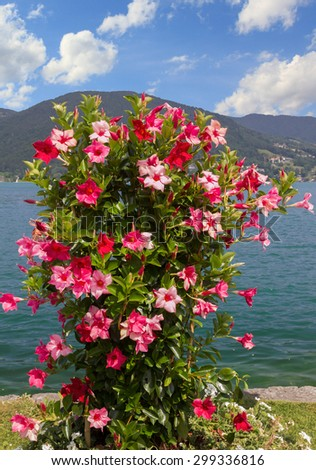 beautiful flowerpot with mandevilla red and pink, lake shore tegernsee, bavarian alps - stock photo