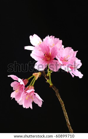 Beautiful flowers blooming cherry on a black background - stock photo