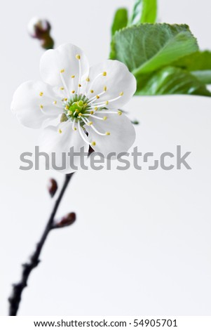Beautiful flowers blooming cherry on a white background - stock photo