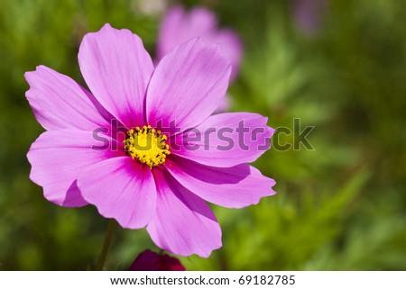 Beautiful flowers cosmos. - stock photo
