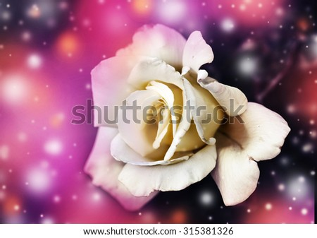 beautiful flowers made with color filters, flower on white: a white rose - stock photo