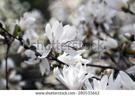 Beautiful Flowers of a Magnolia Tree - stock photo