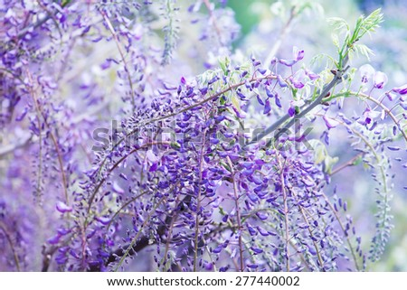 Beautiful flowers of fuji (Wisteria floribunda) vine, blooming in spring. Intentionally shot in high key and shallow depth of field for dreamy feel. - stock photo